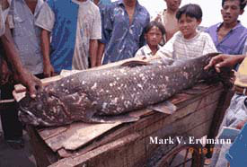 Celacanto filmado por Erdmann em 1997, num mercado Indonésio